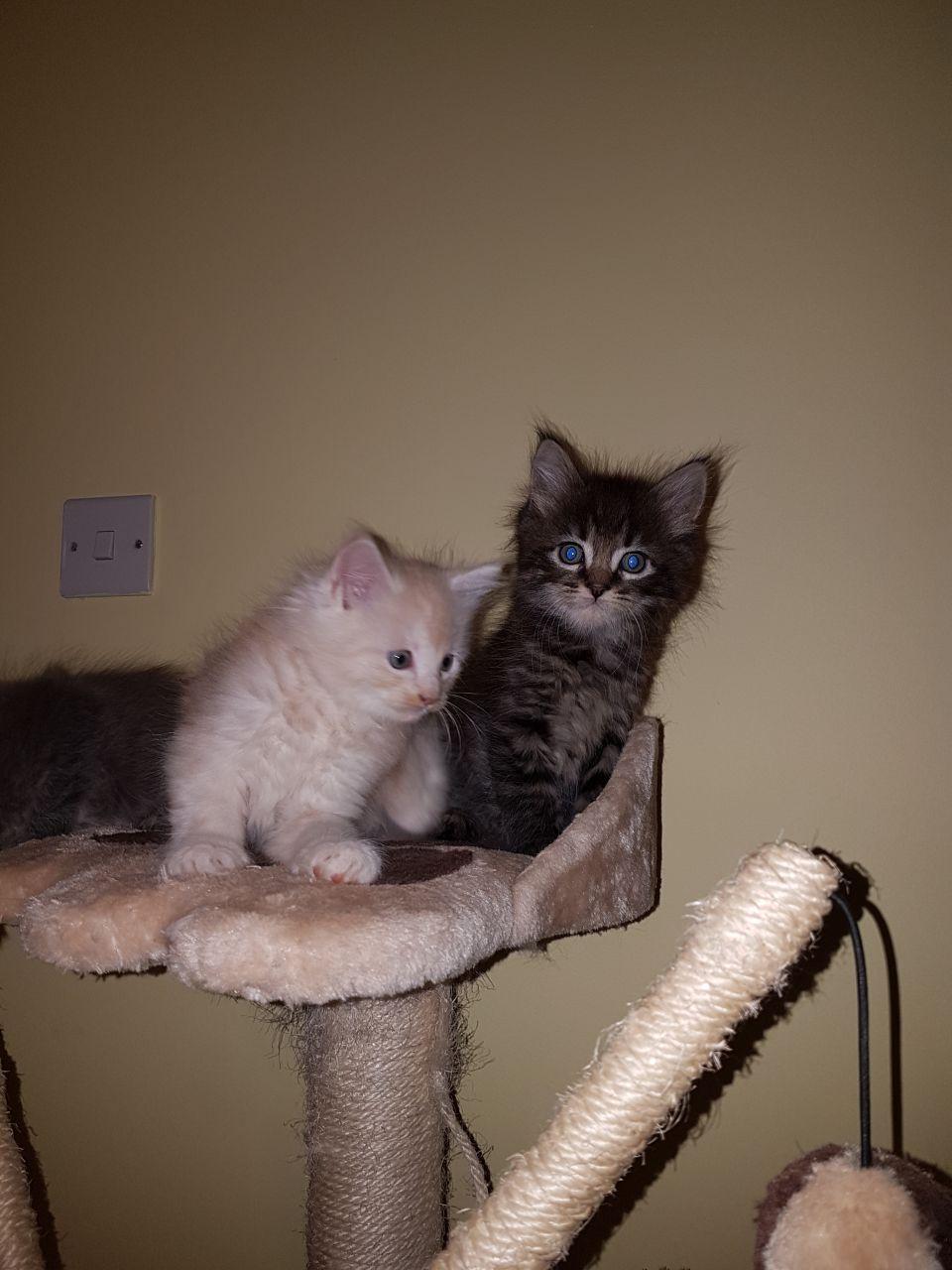 Maine Coon Kittens Jacksonville Fl : maine, kittens, jacksonville, Maine, Jacksonville,, #256077