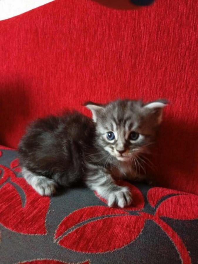 Maine Coon Kittens Jacksonville Fl : maine, kittens, jacksonville, Maine, Jacksonville,, #256080