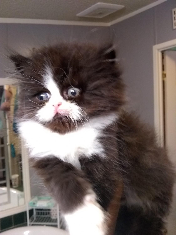 Kittens For Sale In Ky : kittens, Munchkin, Cecilia,, #309970, Petzlover