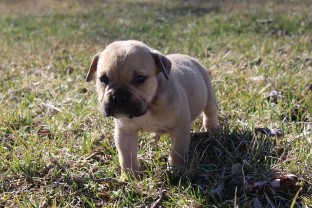 old english bulldog puppies for sale | grand blanc, mi #184245