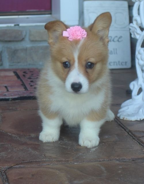 Corgi Puppies For Sale In California : corgi, puppies, california, Pembroke, Welsh, Corgi, Puppies, Alamitos,, #277342