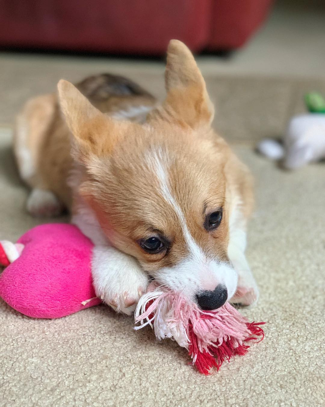 Corgi Puppies For Sale In California : corgi, puppies, california, Pembroke, Welsh, Corgi, Puppies, Diego,, #293459