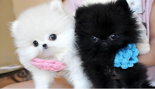 Pomeranian Puppies For Sale Killeen TX 268480