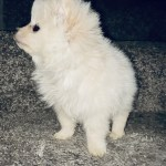 Pomeranian Puppies For Sale Houston Tx 320619