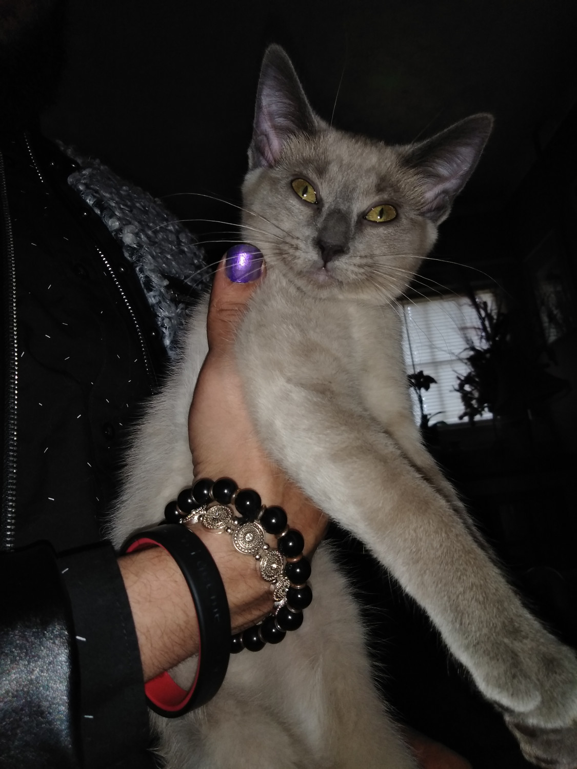 Purebred Russian Blue Kittens For Sale Near Me : purebred, russian, kittens, Russian, Roanoke,, #287049, Petzlover
