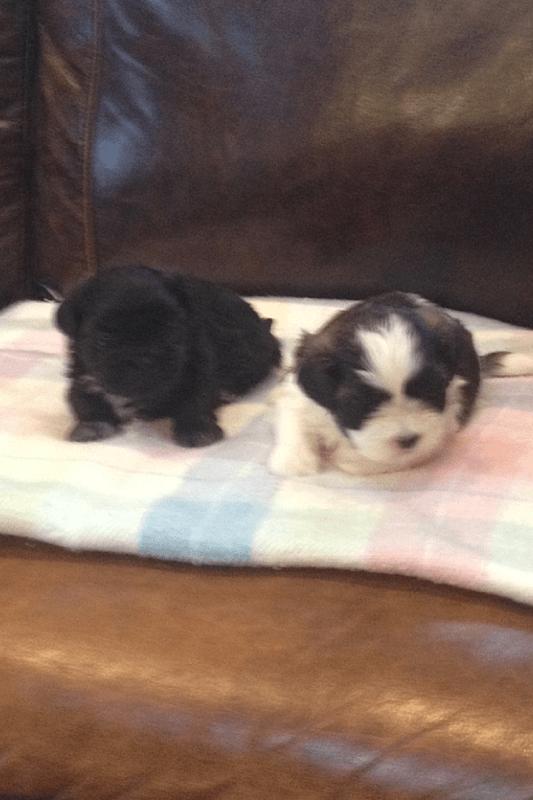 Shih Tzu Puppies For Sale In Michigan : puppies, michigan, Puppies, Atlas,, #180272, Petzlover