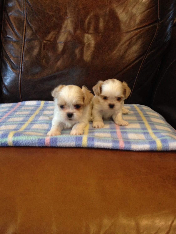Shih Tzu Puppies For Sale In Michigan : puppies, michigan, Puppies, Atlas,, #283917, Petzlover
