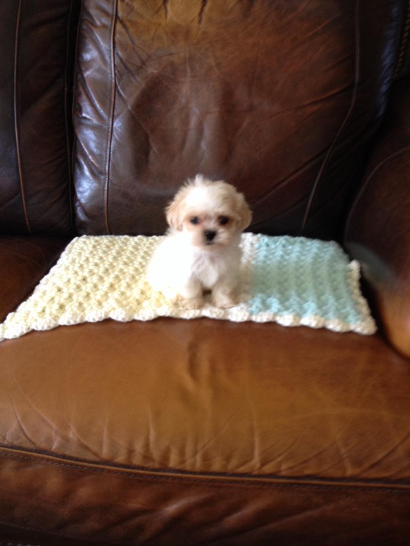 Shih Tzu Puppies For Sale In Michigan : puppies, michigan, Puppies, Atlas,, #284569, Petzlover