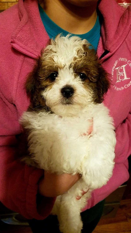 Shih Tzu Puppies For Sale In Michigan : puppies, michigan, Puppies, Hillsdale,, #289166