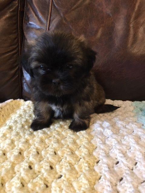 Shih Tzu Puppies For Sale In Michigan : puppies, michigan, Puppies, Atlas,, #303944, Petzlover