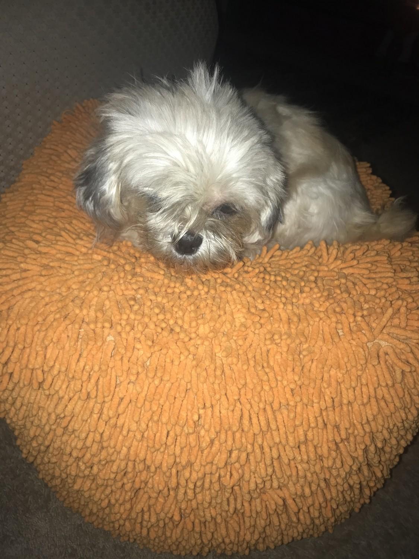 Shih Tzu Puppies For Sale In Michigan : puppies, michigan, Puppies, Westland,, #306012, Petzlover