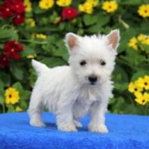 West Highland Terrier Breeders - Year of Clean Water