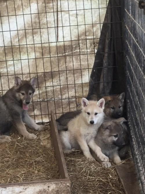 Wolf Hybrid Puppies In Preferential On Wolf Dog Craze Marc Wolf