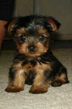Yorkies For Sale In Va Beach : yorkies, beach, Yorkshire, Terrier, Puppies, Virginia, Beach,, #223724