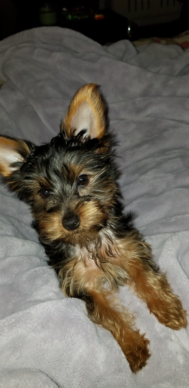 Beach Yorkies - Yorkshire Terrier for Sale