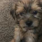 Yorkshire Terrier Puppies For Sale Rome Ga 309987