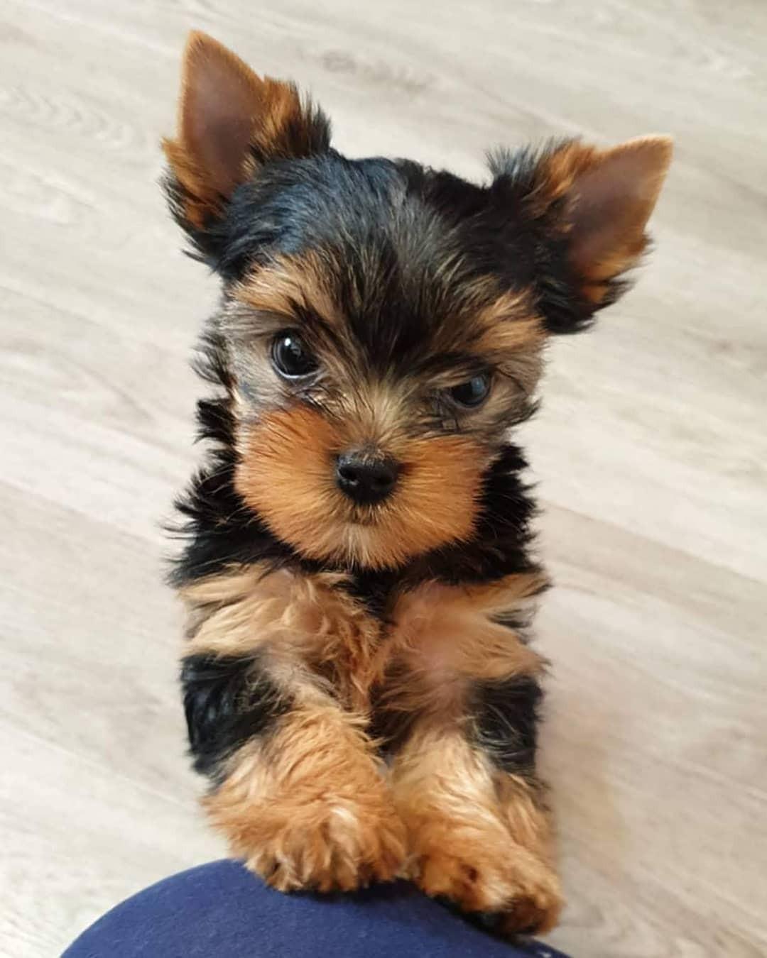 Yorkie Puppies Indiana : yorkie, puppies, indiana, Yorkshire, Terrier, Puppies, Michigan, City,, #333966