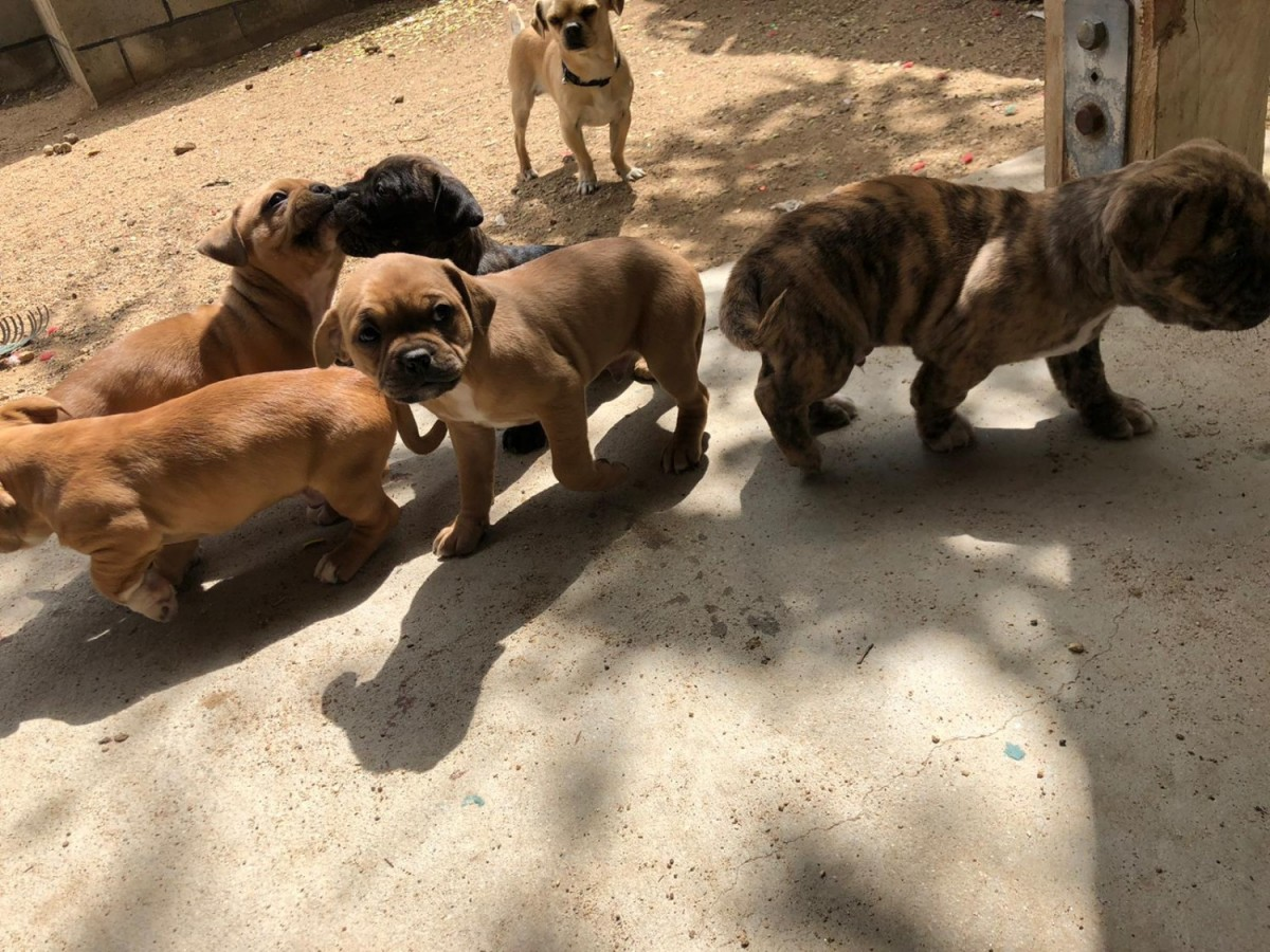 American Pit Bull Terrier Puppies For Sale Palmdale Ca