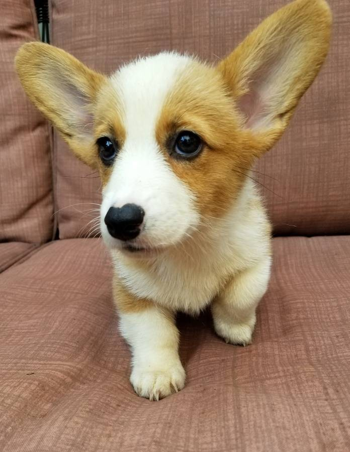 Corgi Puppies For Sale In California : corgi, puppies, california, Pembroke, Welsh, Corgi, Puppies, Sacramento,, #286913