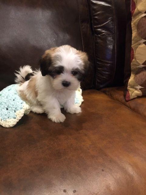 Shih Tzu Puppies For Sale In Michigan : puppies, michigan, Puppies, Atlas,, #316136, Petzlover