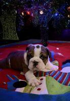 English Bulldog Puppies For Sale In Iowa : english, bulldog, puppies, English, Bulldog, United, States, (106), Petzlover