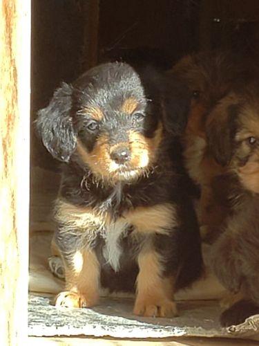Pug Puppies Georgia : puppies, georgia, Puppies, Atlanta,, #2350, Hoobly.US