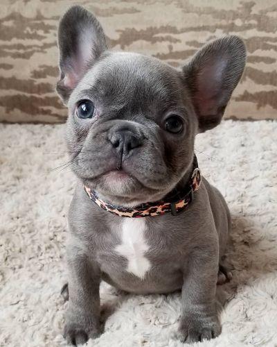 French Bulldog Puppies Dallas : french, bulldog, puppies, dallas, French, Bulldog, Dallas, PetsWall