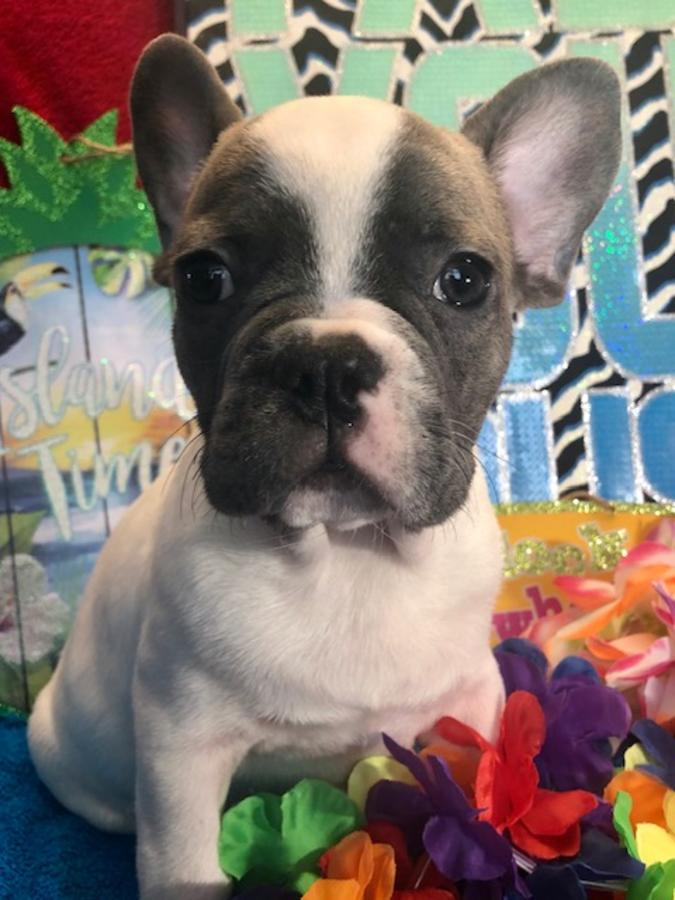 French Bulldog Financing : french, bulldog, financing, French, Bulldogs, Puppies, Ready, There, Forever, Homes!, Credit, Cards, Financing, Promotions!, FrenchieForSale.com