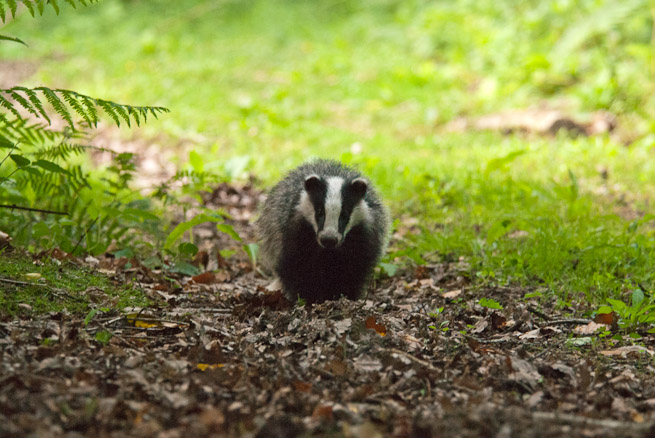 Juvenile badger coming down a grassy track