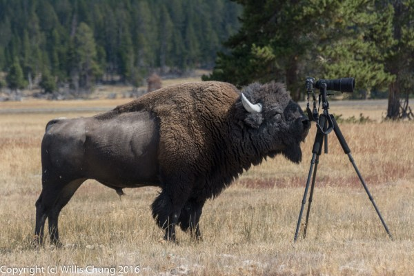 Wildlife Photography Turns Scary When Bison Charges at