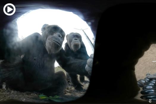 Chimp Steals 360-Degree Camera, Hilarious Selfie Session Ensues