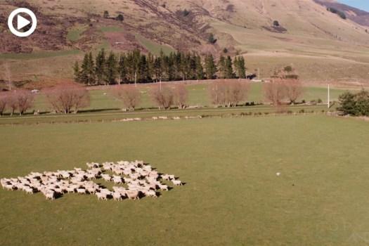 Drone Herds Sheep in Beautiful New Zealand