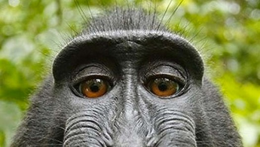 Conde Nast to Turn Monkey Selfie Legal Battle into a Movie