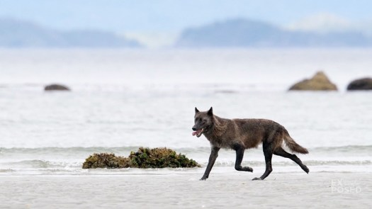 Searching for Canada's Sea Wolf: A Wildlife Photography Expedition