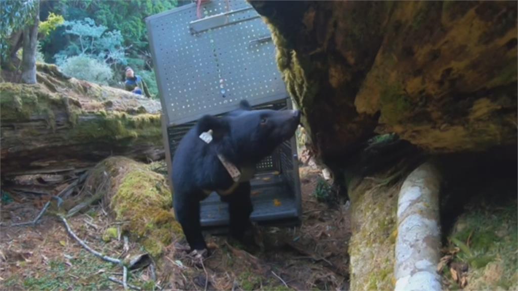 動物版「湯姆克魯斯」 錦屏母熊今野放重回山林-民視新聞網