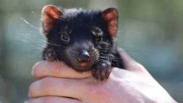 Première naissance d'un bébé diable de Tasmanie en Australie depuis 3.000 ans