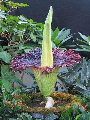 Plus Grande Fleur Du Monde : grande, fleur, monde, Quelle, Grosse, Fleur, Monde