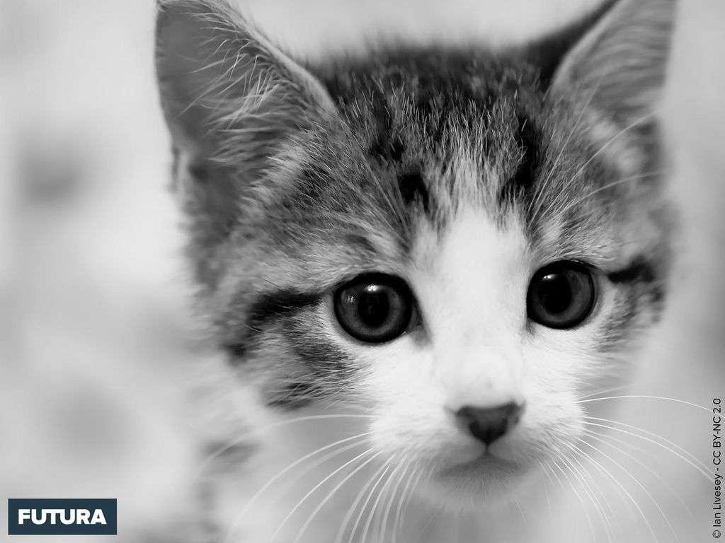 fond d ecran chaton en noir et blanc