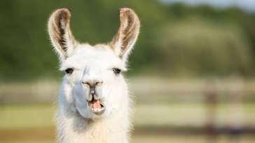 Les anticorps de lama pourraient bien être efficaces contre les variants du SARS-CoV-2