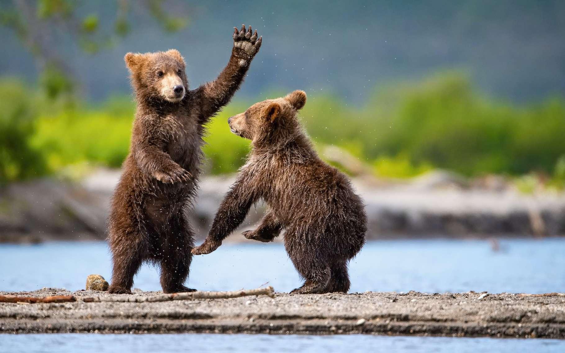 l'ours brun sait se servir d'outils