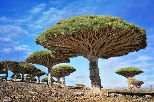 #7 Dragonblood Trees, Socotra, Yemen