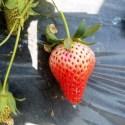 स्ट्रबेरी खेती