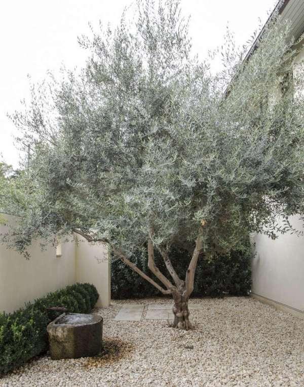gardening 101 olive tree - gardenista