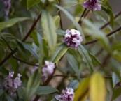 scented flowering shrubs