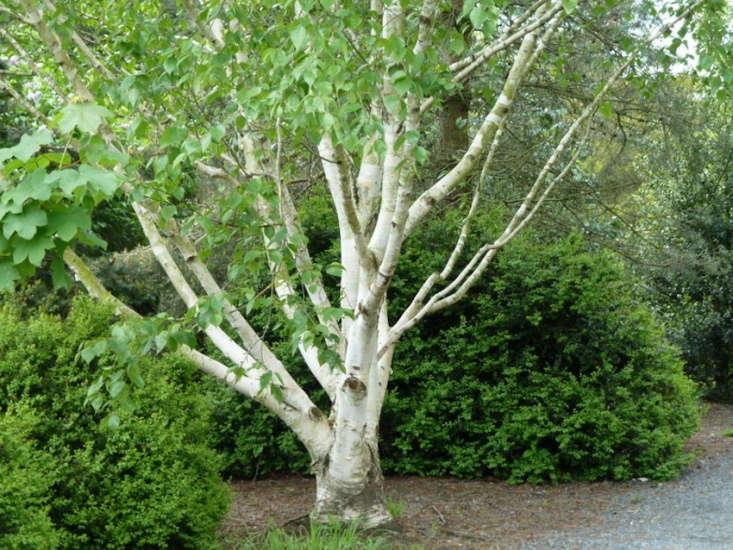 birch trees 5 favorites