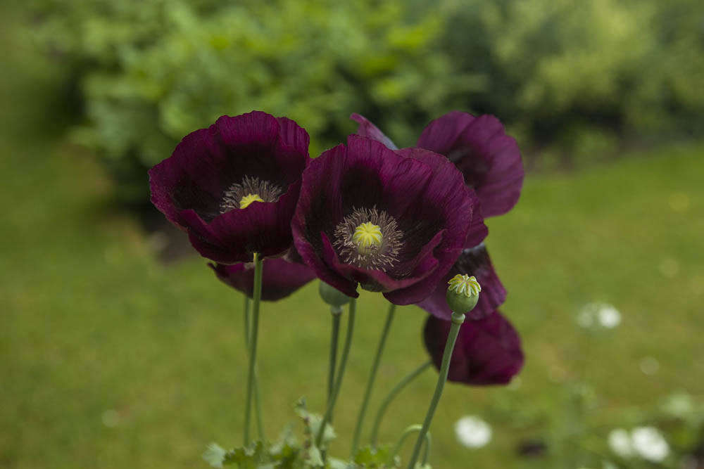 How To Successfully Grow Opium Poppies A Field Guide To