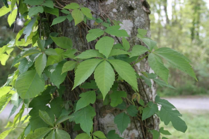 10 Things Nobody Tells You About Poison Ivy