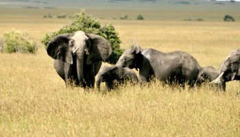 Yahoo Japan accused of cashing in on illegal ivory trade
