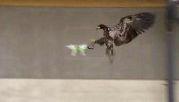 Eagles may be best defense against hostile drones