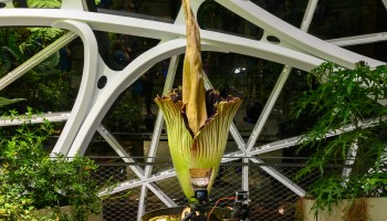 Timelapse video: Miss the corpse plant blooming in Amazon's Spheres? See it now in just 15 seconds
